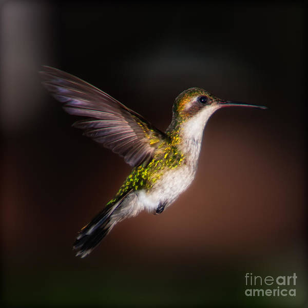 Lone Hummingbird Art Print