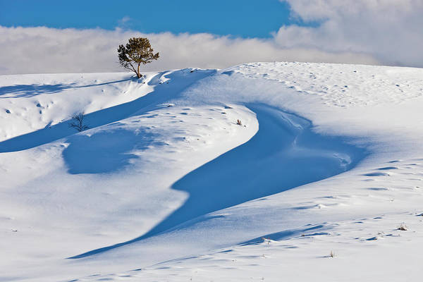 Photograph - Lone Pine In Winter by D Robert Franz