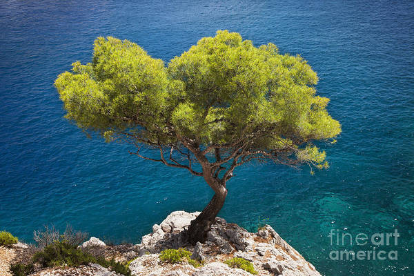 Photograph - Lone Pine Tree by Brian Jannsen