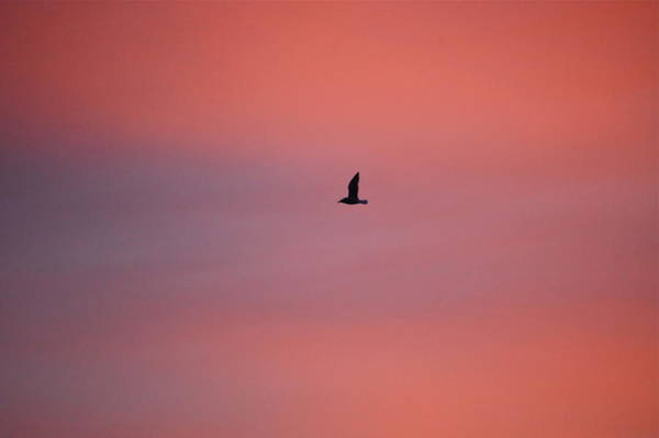 Photograph - Lone Seagull At Sunset by Mary McAvoy