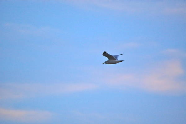 Photograph - Lone Seagull by Mary McAvoy
