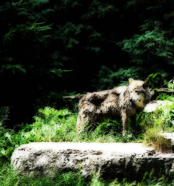 Alpha Wolf Wall Art - Photograph - Lone Wolf by Simone Hester