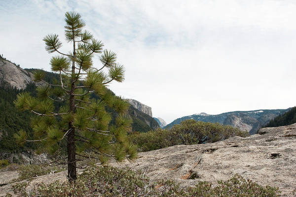Photograph - Lonely Pine by Lorraine Devon Wilke