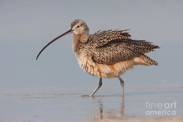 Scolopacidae Photograph - Long-billed Curlew I by Clarence Holmes