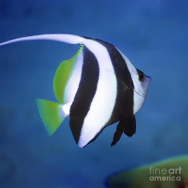 Wall Art - Photograph - Long-fin Banner-fish by MotHaiBaPhoto Prints