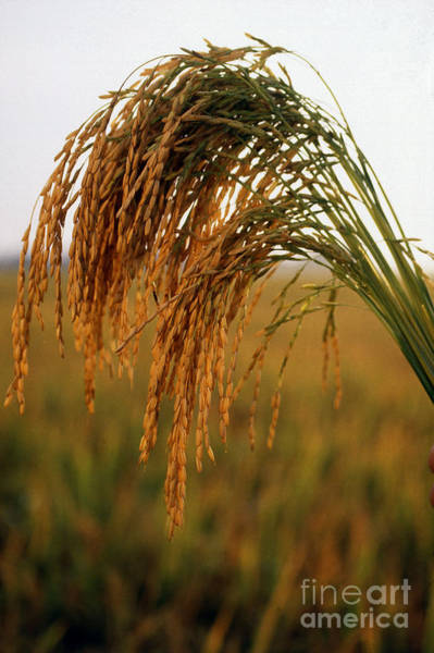 Photograph - Long Grain Rice by Photo Researchers