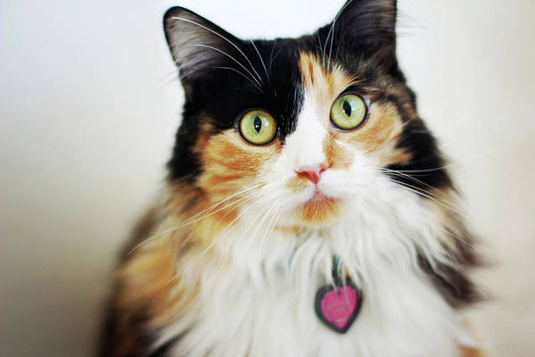 Long Hair Cat Photograph - Long Haired Calico Cat by Genevieve Morrison