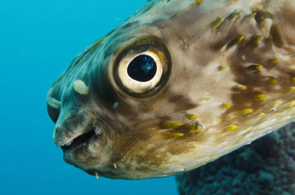 Balloonfish Photograph - Long-spine Porcupinefish Diodon by Pete Oxford