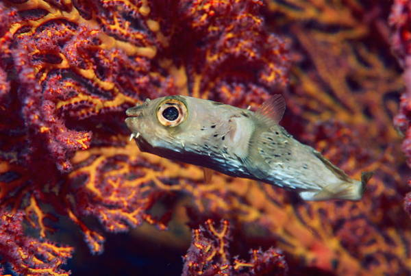 Balloonfish Photograph - Long-spine Porcupinefish by Georgette Douwma