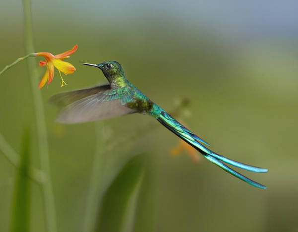 Jurong Bird Park Photograph - Long Tailed Sylph Feeding On Flower by Tim Fitzharris