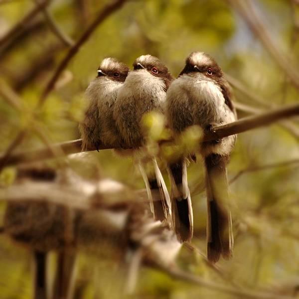 Photograph - Longtailed Tit Fledglings by Gavin Macrae