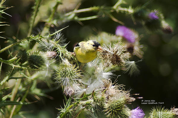 Photograph - Look At Me - Lesser Goldfinch by James Ahn