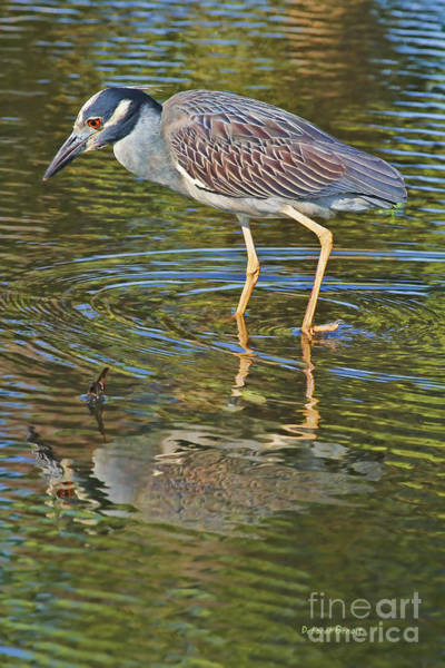 Night-heron Photograph - Look Into My Eyes by Deborah Benoit