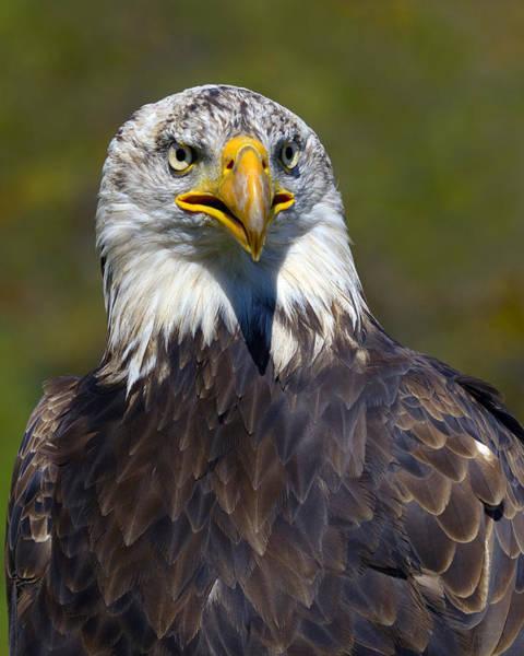 Photograph - Looking Forward - Bald Eagle by Tony Beck