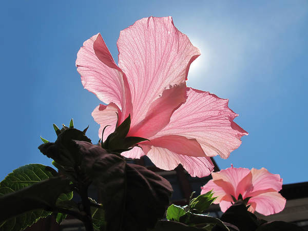 Photograph - Looking Towards The Heavens - Pink Hibiscus Flower Under A Blue Sky On A Sunny Day  by Chantal PhotoPix