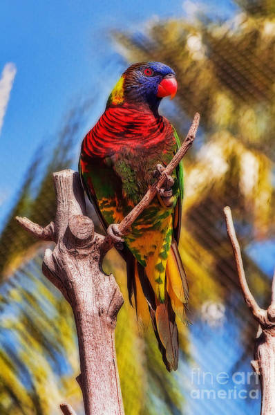 Photograph - Lorikeet Perched Up High by Eddie Yerkish