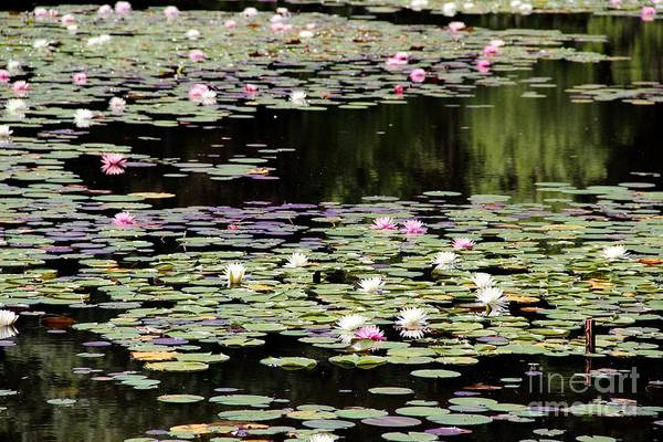 Wall Art - Photograph - Lotus Above Lotus Below by Pauline Ross