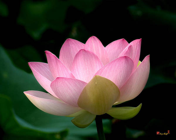 Photograph - Lotus Beauty--blushing Dl003 by Gerry Gantt