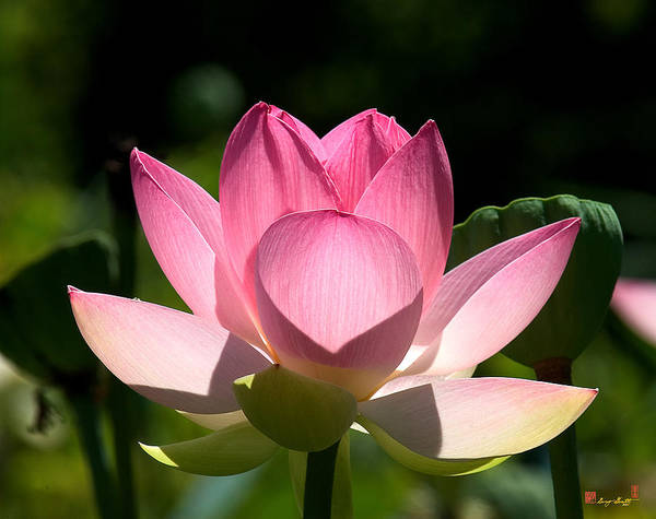 Photograph - Lotus Beauty--radiant Beauty Dl011 by Gerry Gantt