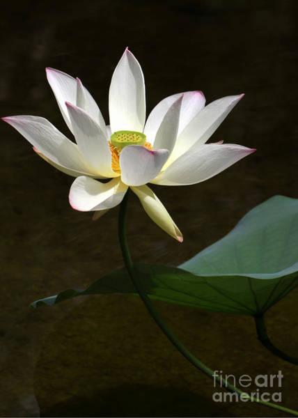 Photograph - Lotus Beauty by Sabrina L Ryan