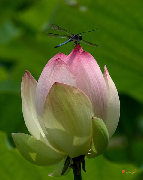 Photograph - Lotus Bud And Blue Dasher Dragonfly--supporting Role Dl019 by Gerry Gantt