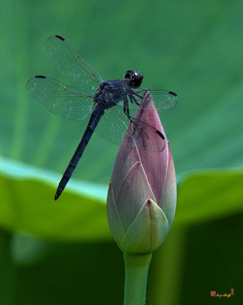 Photograph - Lotus Bud And Slatey Skimmer Dragonfly Dl072 by Gerry Gantt