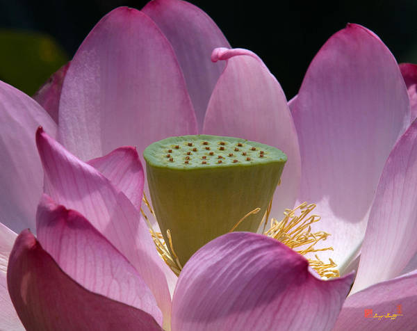 Photograph - Lotus--center Of Being Iv Dl071 by Gerry Gantt