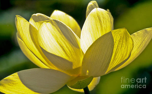 Photograph - Lotus Flower by Heiko Koehrer-Wagner