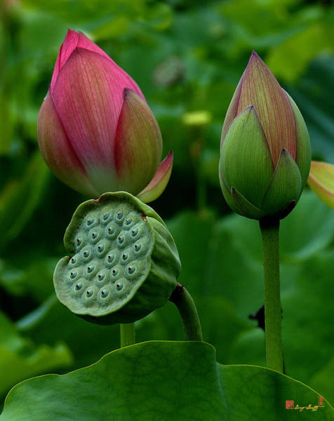 Photograph - Lotus-generations IIi Dl031 by Gerry Gantt