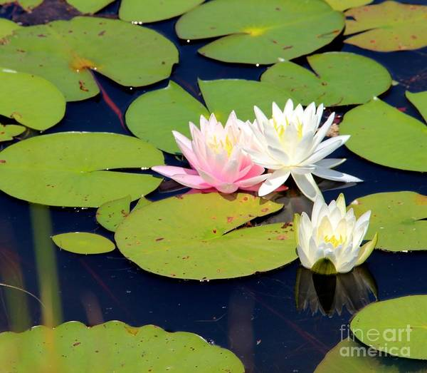 Wall Art - Photograph - Lotus In Bloom by Pauline Ross