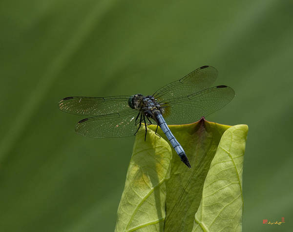 Photograph - Lotus Leaf And Blue Dasher Dragonfly Dl058 by Gerry Gantt