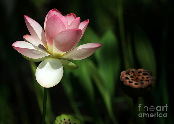 Photograph - Lotus Opening To The Sun by Sabrina L Ryan