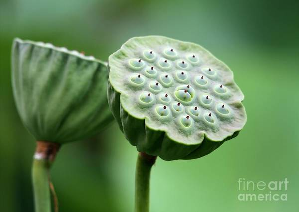 Lotus Seed Wall Art - Photograph - Lotus Seed Pods by Sabrina L Ryan