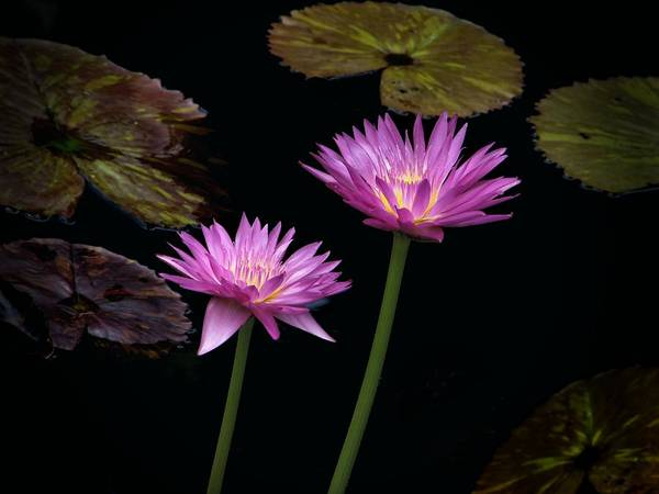 Photograph - Lotus Water Lilies by Rudy Umans