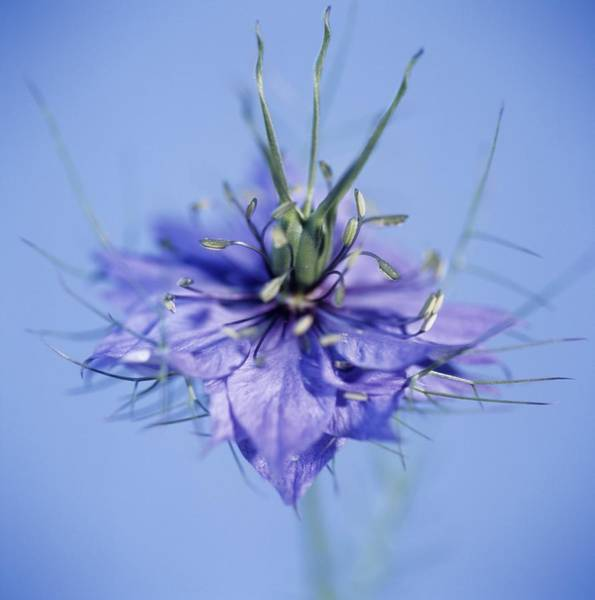 Love In The Mist Photograph - Love In The Mist Flower (nigella Sp.) by Cristina Pedrazzini