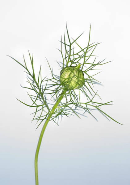 Love In The Mist Photograph - Love In The Mist Seed Head (nigella Sp.) by Lawrence Lawry