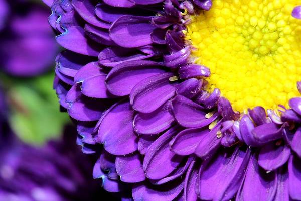 Christy Photograph - Love The Purple Flower by Christy Patino