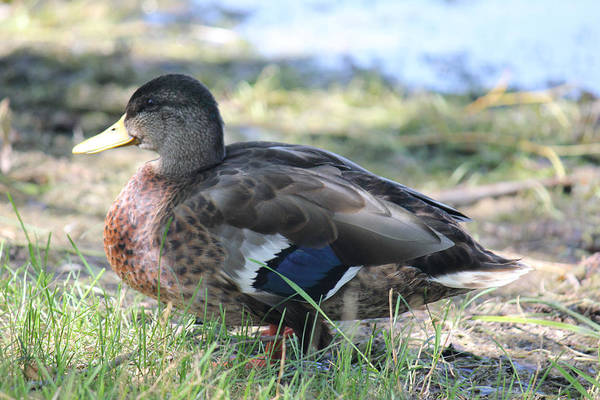 Photograph - Lovely Duck 1 by Donna L Munro