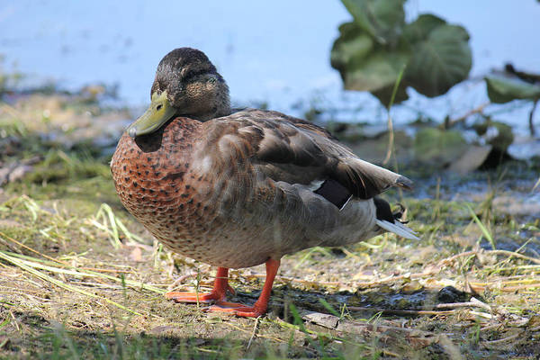 Photograph - Lovely Duck 2 by Donna L Munro