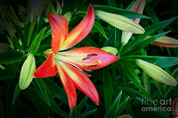 Photograph - Lovely Red Lilly by Andee Design