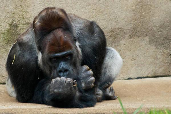 Photograph - Lowland Gorilla by Keith Allen