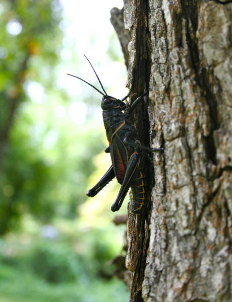 Photograph - Lubber Grasshopper by Mike Ivey