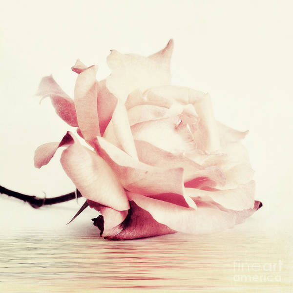 White Rose Photograph - Lucid by Priska Wettstein