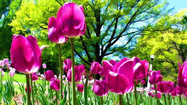 Photograph - Luminous Purple Tulips In A Flower Garden And Sunny Green Trees Under A Blue Sky by Chantal PhotoPix