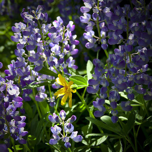 Photograph - Lupin's Welcomed Visitor by David Patterson
