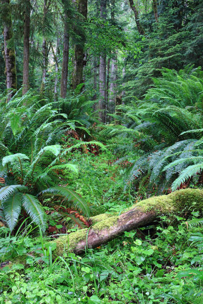 Photograph - Lush Rain Forest In Olympic National Park by Pierre Leclerc Photography