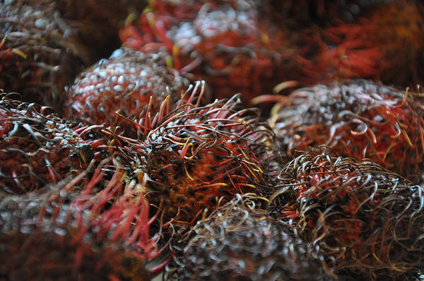 Photograph - Lychee Fruit 1 by Frank Mari