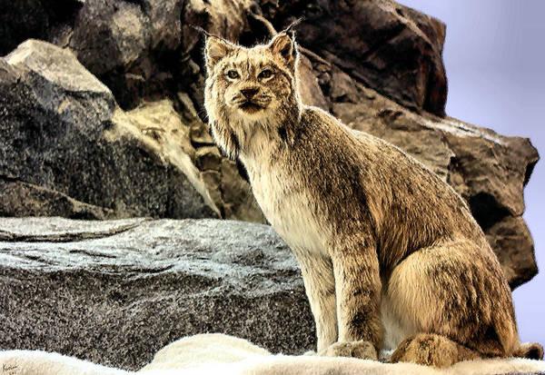 Photograph - Lynx by Kristin Elmquist