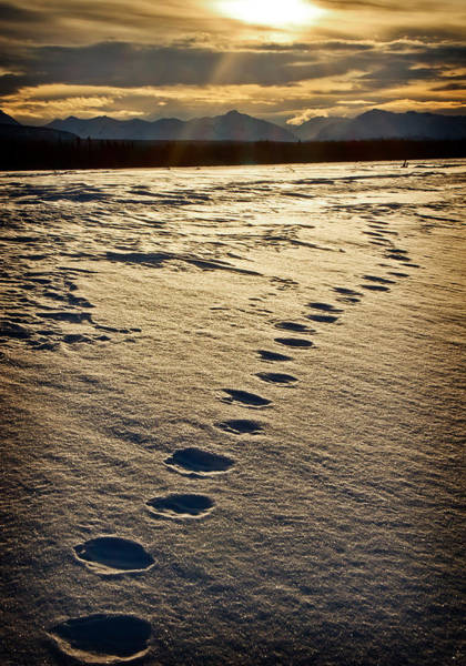 Photograph - Lynx Tracks by Fred Denner