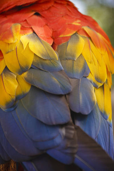 Photograph - Macaw Parrot Plumes by Adam Romanowicz